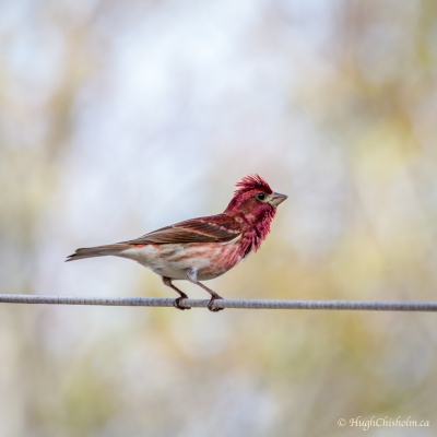 Purple Finch (I know, he's red)